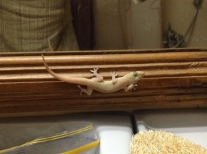 Barry The Bathroom Lizard, judging me for not flossing